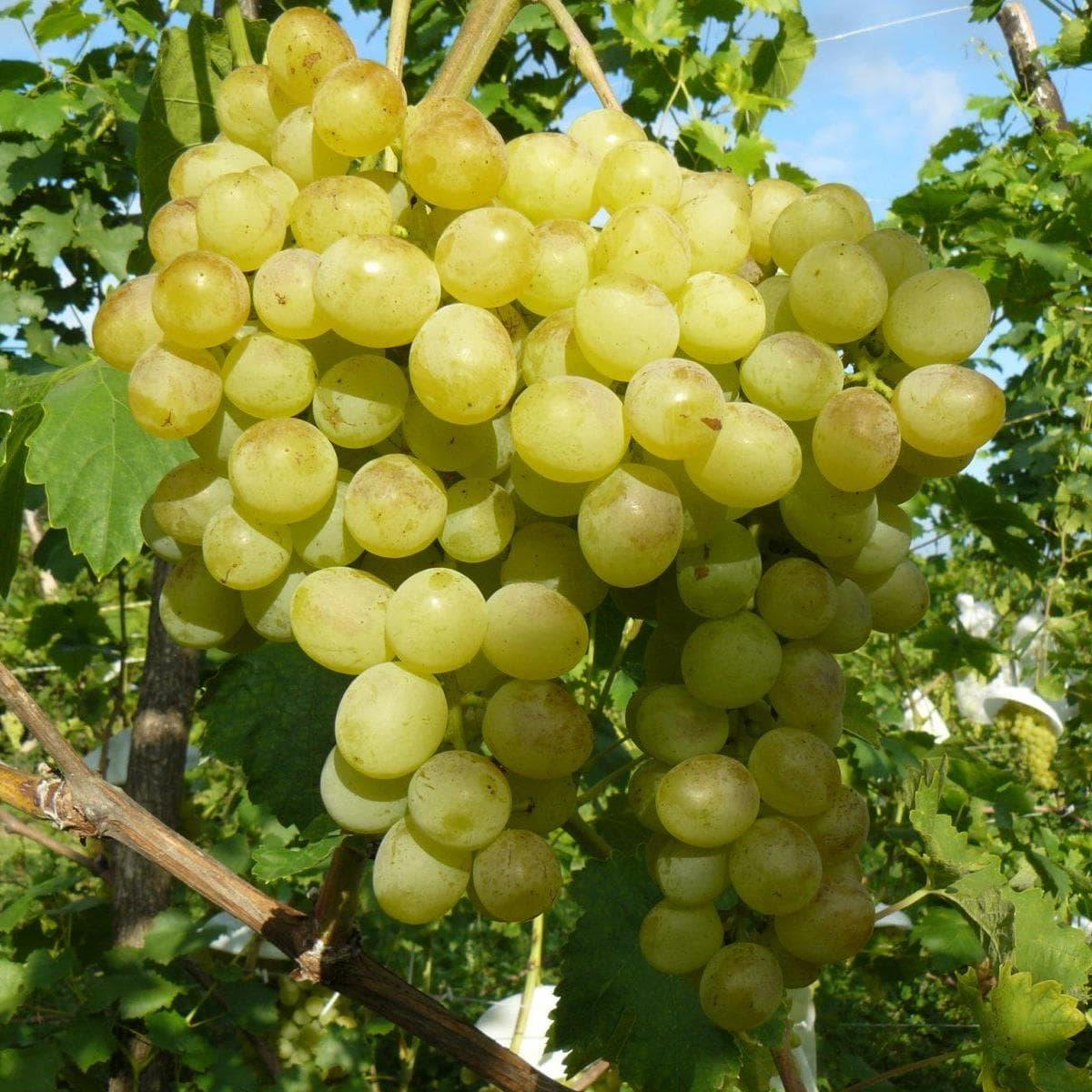 всегда есть сорт винограда юодупе фото грядку камнями