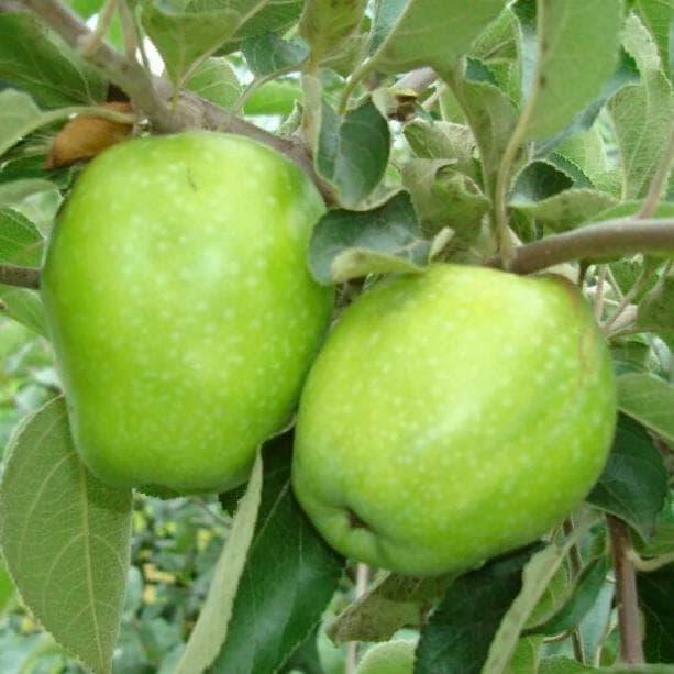 Яблоня фото лимонки