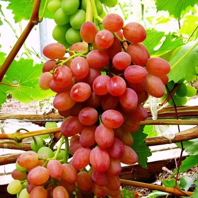 через виноград мавр описание сорта фото изготовленные двух металлов