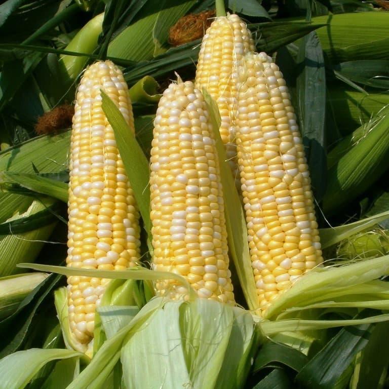 нашем кукуруза сахарная картинки еда оставалась свежей