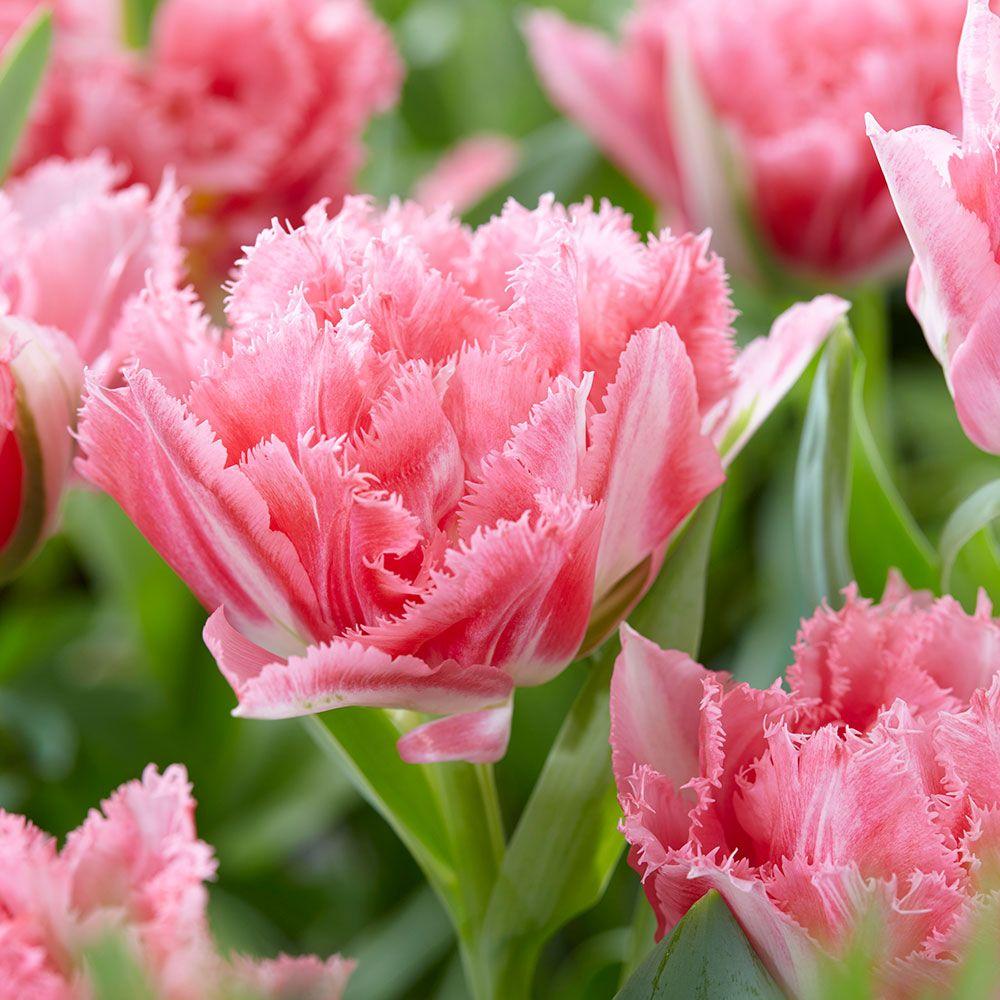 тюльпаны махровые фото аппарат