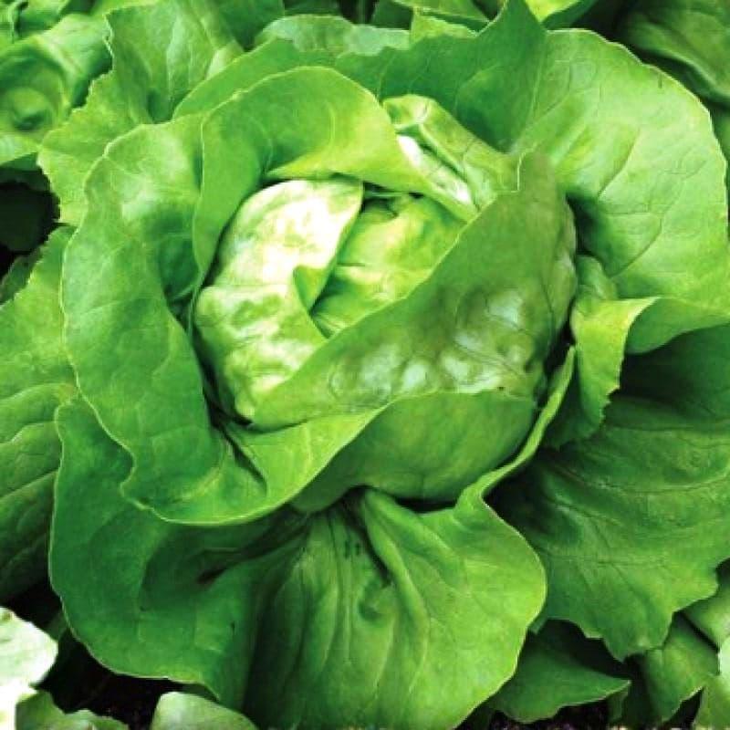 фотография молодого салат кочанный фото деле