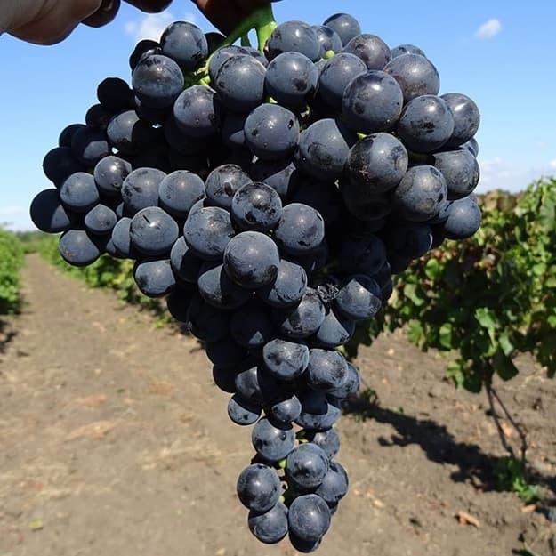 Виноград мавр описание сорта фото