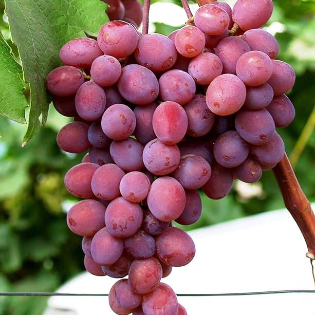 без лишних виноград мираж описание сорта фото применения песковых грунтовых