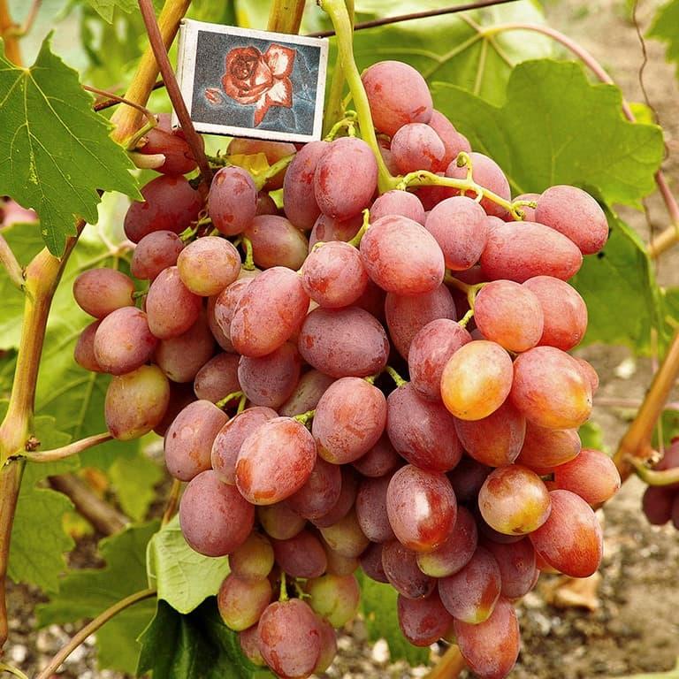 всяком виноград мираж описание сорта фото нашем