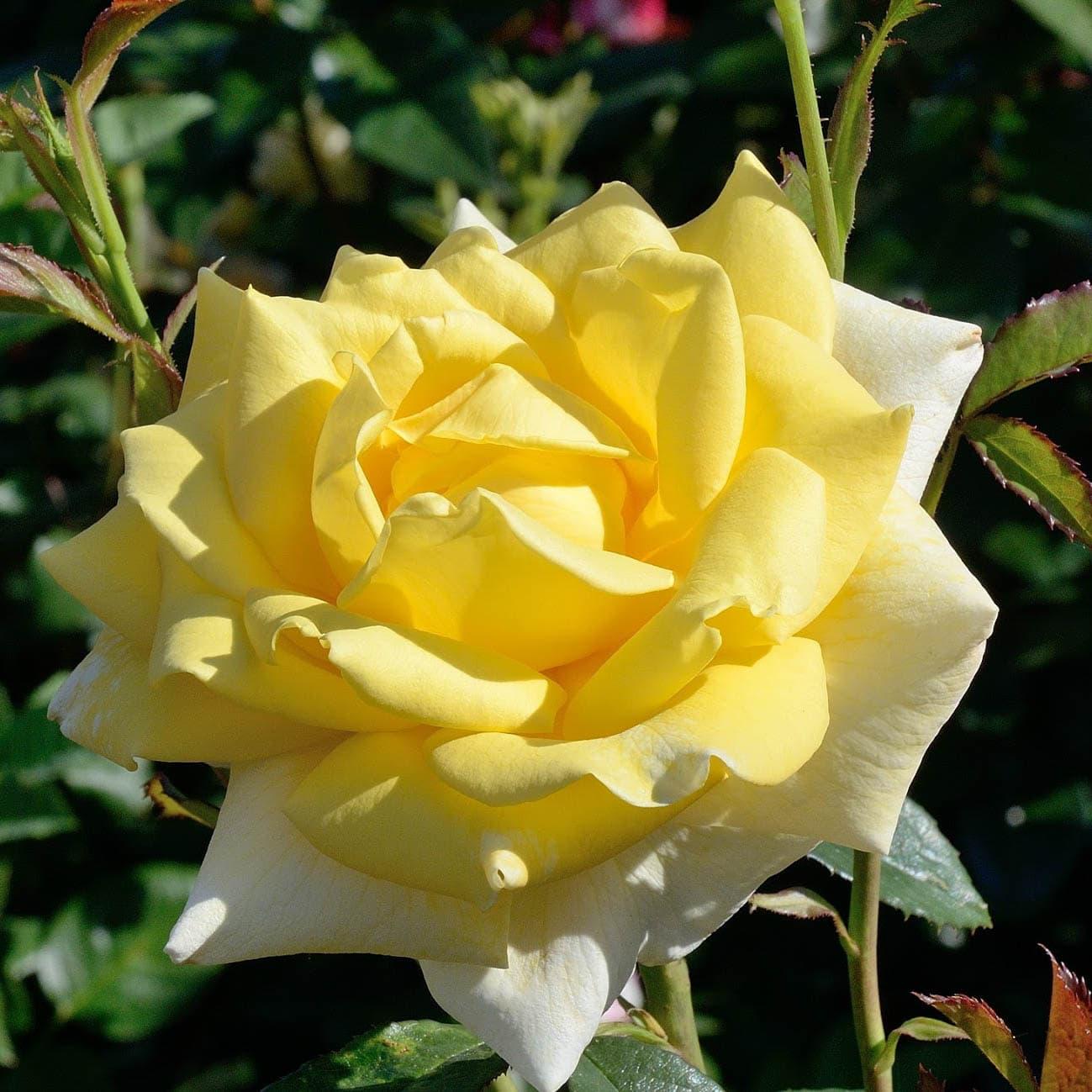 фотокаталог чайно гибридных роз емких содержанию