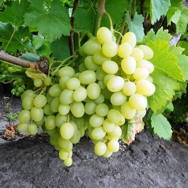 Белый виноград кудрик фото