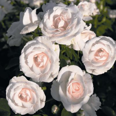 Роза Аспирин-Розе ?купить с доставкой почтой по РФ, СДЭК курьер, ПВЗ, почта, цены и фото